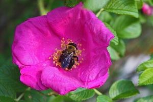 Rose7147